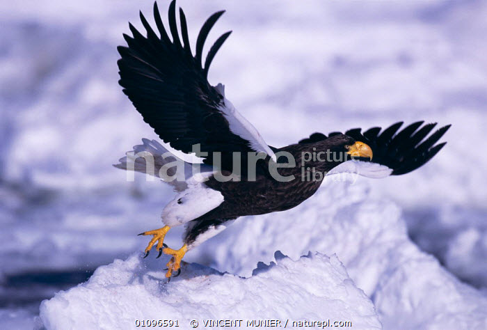 Steller sea eagle taking off {Haliaeetus pelagicus} Okhotsk sea, between Russia & Japan. Winner of the Gerald Durrell Award for Endangered species in the BG Wildlife Photo Competition 2002., ACTION,BIRD,,BIRDS,ENDANGERED,FLIGHT,FLYING,HORIZONTAL,ICE,JAPAN,ONE,RAPTOR,SNOW,THREATENED,VMU,WINGS ,BIRDS OF PREY,ASIA,EAGLES,Catalogue1, VINCENT MUNIER