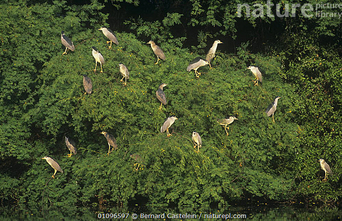 Colony of Black crowned night heron {Nycticorax nycticorax} roosting in tree, Keoladeo Ghana / Bharatpur NP, Rajasthan, India, ASIA,BIRDS,FLOCKS,GROUPS,HERONS,INDIAN SUBCONTINENT,RESERVE,VERTEBRATES,WETLANDS,,UNESCO World Heritage Site,, Bernard Castelein