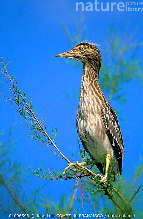 Juvenile Black crowned night heron in tree {Nycticorax nycticorax} Spain, Europe, BIRDS,EUROPE,HERONS,JUVENILE,PORTRAITS,SPAIN,VERTEBRATES,VERTICAL, Jose Luis GOMEZ de FRANCISCO