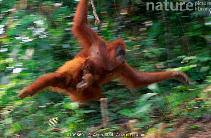 Abstract Sumatran orang utan swinging through forest with infant {Pongo pygmaeus abelii} Gunung Leuser NP CR Indonesia, ACTION,ARBOREAL,BABY,BRANCHES,ENDANGERED,HORIZONTAL,INDONESIA,MAMMALS,NATIONAL,PRIMATES,TREES,TROPICAL RAINFOREST,ASIA,PLANTS, Anup Shah