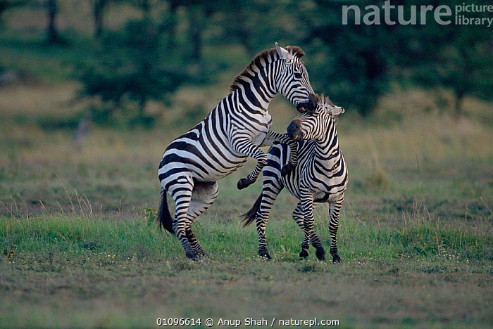 Common zebra males fighting {Equus quagga} Masai Mara National Reserve Kenya E Africa, ACTION,AFRICA,AGGRESSION,AS,COMPETITION,DOMINANCE,EAST AFRICA,GRASSLANDS,HORIZONTAL,MALE,MALES,MAMMALS,NR,PERISSODACTYLA,SAVANNA,STRIPES,TERRITORIAL,GRASSLAND,CONCEPTS,EQUINES, Anup Shah