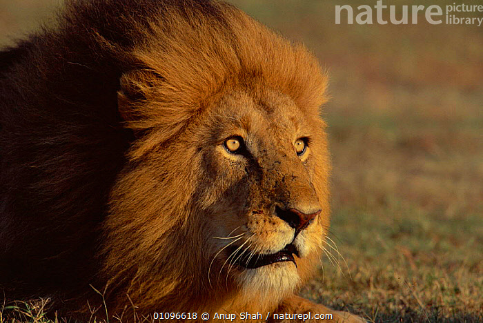 Male lion face portrait {Panthera leo} Masai Mara, Kenya, East Africa, AFRICA,AS,BEAUTIFUL,BIG,CARNIVORES,EAST AFRICA,FACES,HEADS,HORIZONTAL,MAJESTIC,MALE,MALES,MAMMALS,MANE,PORTRAIT,PORTRAITS,POWERFUL,SHAH,CONCEPTS,LIONS,BIG CATS, Anup Shah
