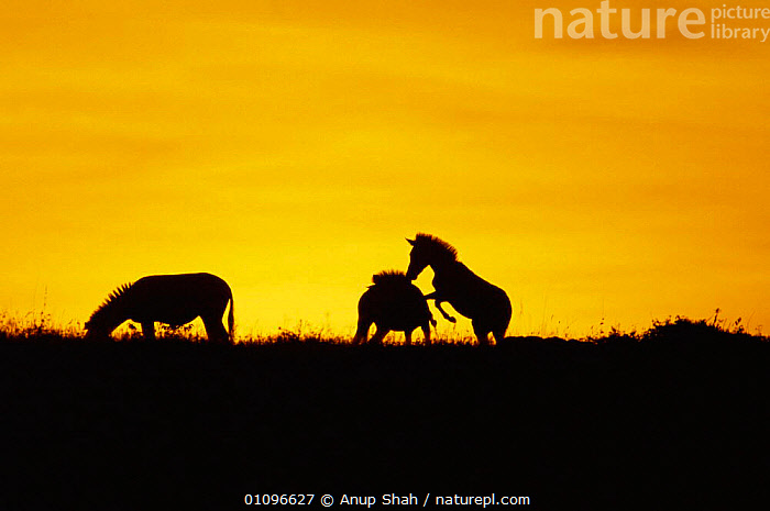 Common zebras play fighting at sunset {Equus quagga} Masai Mara NR Kenya East Africa, AFRICA,AS,DUSK,EAST,EAST AFRICA,EVENING,FIGHTING,GROUPS,HORIZONTAL,KENYA,MAMMALS,NR,PERISSODACTYLA,PLAY,PLAYFUL,PLAYING,RESERVE,SILHOUETTES,SUNSET,ZEBRAS,AGGRESSION,COMMUNICATION,EQUINES,Concepts, Anup Shah