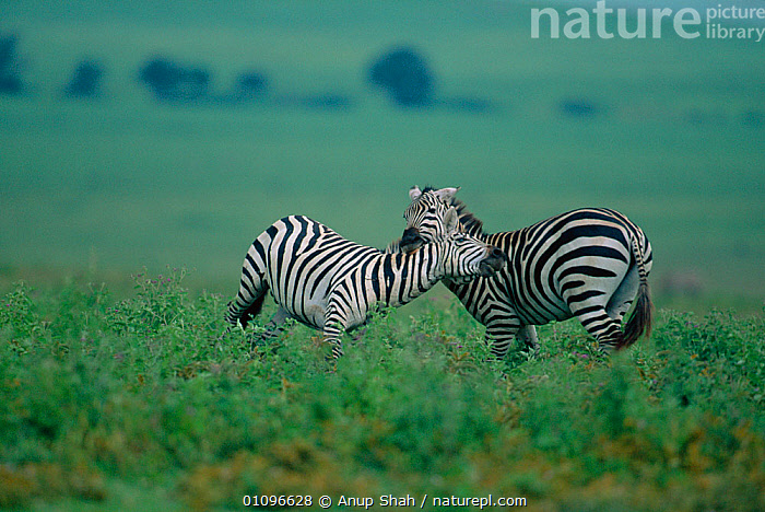 Common zebras nuzzling each other's necks {Equus quagga} Masai Mara NR Kenya East Africa, AFFECTIONATE,AFRICA,BEHAVIOUR,GRASSLAND,GROOMING,HORIZONTAL,MAMMALS,PERISSODACTYLA,RESERVE,SAVANNA,STRIPES,VERTEBRATES,ZEBRAS,EQUUS QUAGGA,Animal,Vertebrate,Mammal,Odd toed ungulate,Animalia,Animal,Wildlife,Vertebrate,Mammalia,Mammal,Perissodactyla,Odd toed ungulate,Equidae,Equus,, Anup Shah