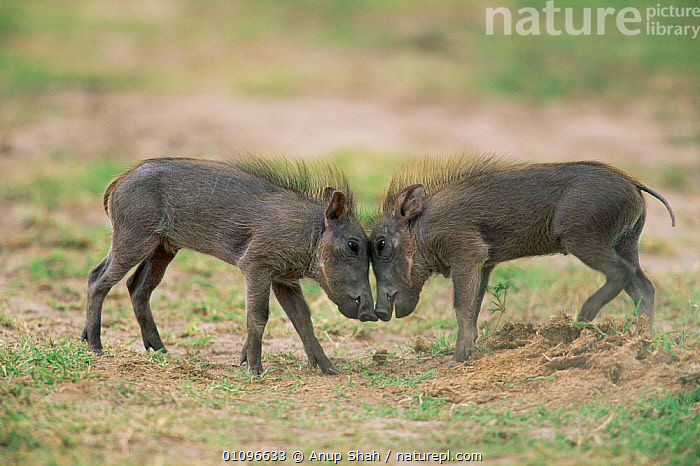 Two young Warthogs going head to head {Phacochoerus aethiopicus} Masai Mara NR Kenya, NATIONAL,HORIZONTAL,PLAYFUL,CUTE,PIGS,EAST,AFRICA,JUVENILE,MAMMALS,RESERVE,HOGS,PAIR,PLAY,E,PLAY FIGHTING,EAST AFRICA,Communication, Anup Shah