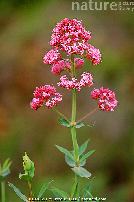 Red valerian in flower {Centranthus ruber} Spain, EUROPE,FLOWERS,JRU,PLANTS,PURPLE,SPAIN,VALERIAN,VERTICAL,WILD, Jose B. Ruiz