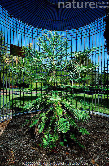 Wollemi pine tree {Wollemia nobillis} Adelaide Botannical Gardens, S Australia - tree species discovered in 1994, planted specimen, protected in a locked cage january 2002, ADELAIDE,ANCIENT,AUSTRALIA,CONIFEROUS,FOSSIL,MGA,MONOCOTYLEDONS,MT,PLANTED,PLANTS,PROTECTED,RARE,RESERVE,SPECIES,SPECIMEN,TREE,TREES,VERTICAL, Martin Gabriel