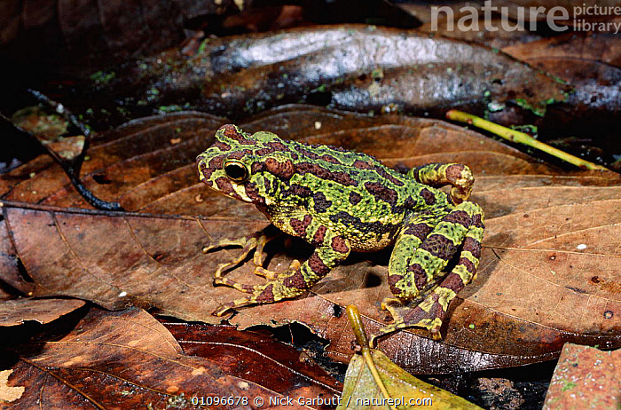 Marbled tree toad {Pedostibes rugosus} amongst ground leaf litter, Danum valley, Sabah, Borneo, AMPHIBIANS,ANURA,ASIA,BORNEO,HORIZONTAL,INDONESIA,NGA,RAINFOREST,SABAH,SOUTH EAST ASIA,TOADS,TROPICAL,TROPICAL RAINFOREST, Nick Garbutt
