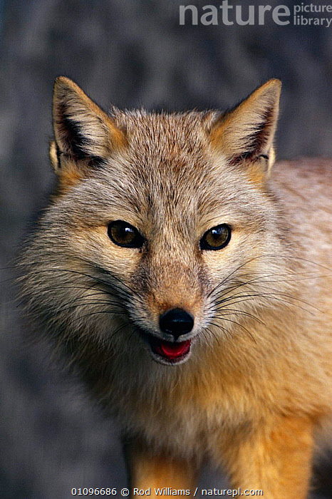 Corsac fox male {Vulpes corsac} occurs in central asia, ASIA,CAPTIVE,CARNIVORES,MALE,MAMMALS,PORTRAITS,RWI,VERTICAL,DOGS,CANIDS, Rod Williams