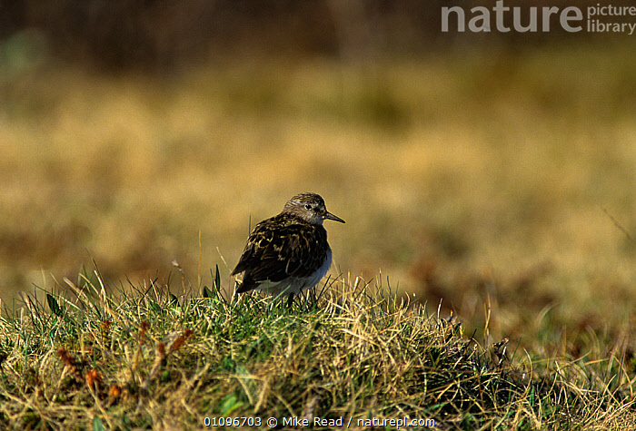 Temminck's stint {Calidris temminckii} Vadso, Norway, ARCTIC, BIRDS, EUROPE, SANDPIPERS, SCANDINAVIA, TUNDRA, VERTEBRATES, WADERS, Mike Read