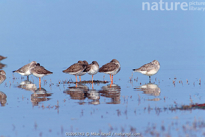 Redshanks {Tringa totanus} and Grey plover {Pluvialis squatarola} at high tide roost. Hampshire, UK, BIRDS,BRITISH,ENGLAND,EUROPE,GREY,HORIZONTAL,LITTORAL,MIXED,MIXED SPECIES,MRE,REFLECTIONS,RESTING,SLEEPING,UK,WADERS,UNITED KINGDOM,INTERTIDAL, Mike Read