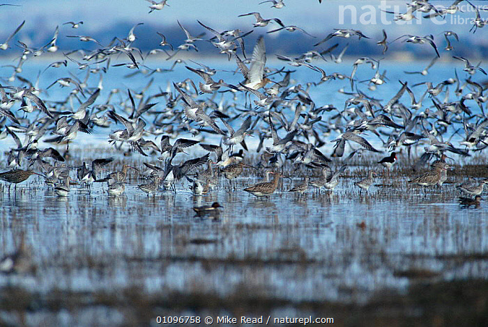 Flock of Bar tailed godwits {Limosa lapponica} + other waders in flight. Hampshire, UK, Hayling Is, BIRDS,COASTS,EUROPE,FLOCKS,FLYING,HORIZONTAL,MASSES,MIXED SPECIES,MRE,UK,WADERS,WETLANDS,UNITED KINGDOM,BRITISH, Mike Read
