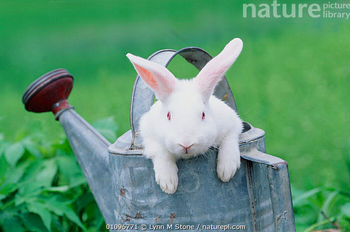 New Zealand rabbit in watering can,  USA, CUTE,HORIZONTAL,ILLINOIS,LAGOMORPHS,LS,MAMMALS,PETS,WHITE,RABBITS,North America, Lynn M Stone