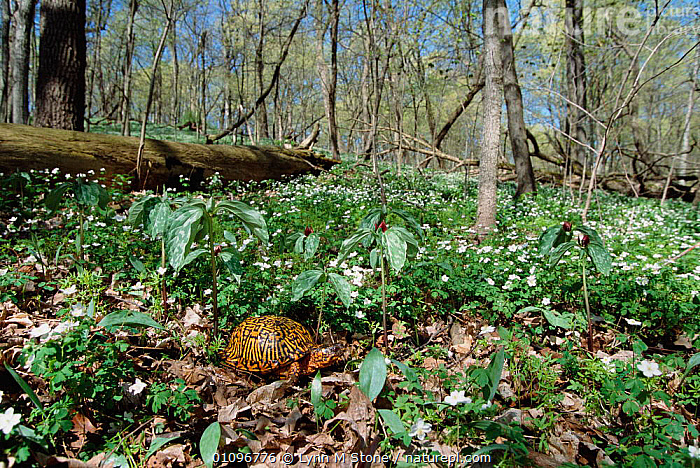 Eastern box turtle {Terrapene carolina carolina} amongst Wood anemones. Michigan, USA, North America, FLOWERS,HABITAT,HORIZONTAL,LANDSCAPES,LS,PLANTS,REPTILES,SPRING,USA,WOODLANDS,NORTH AMERICA,CHELONIA, TURTLES, Lynn M Stone