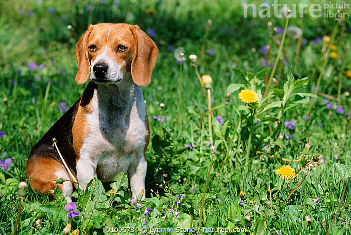 Beagle breed dog, USA, North America, BEAGLE,BREEDS,CANIDS,CARNIVORES,DOGS,FAMILIES,HORIZONTAL,LS,MAMMALS,NORTH AMERICA,PETS,USA,VERTICAL, Lynn M Stone
