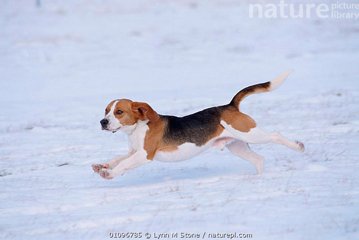 Beagle running through snow {Canis familiaris} USA, BEAGLES,BREED,HORIZONTAL,LS,MAMMALS,PEDIGREE,PETS,RUNNING,SNOW,USA,NORTH AMERICA,DOGS,CANIDS, Lynn M Stone