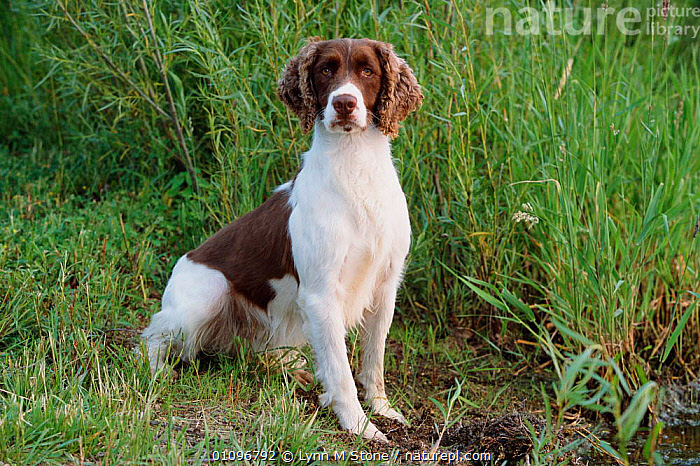 English springer spaniel {Canis familiaris} USA, BREED,CARNIVORES,HORIZONTAL,LS,MAMMALS,PEDIGREE,PETS,SPANIELS,DOGS,CANIDS, Lynn M Stone