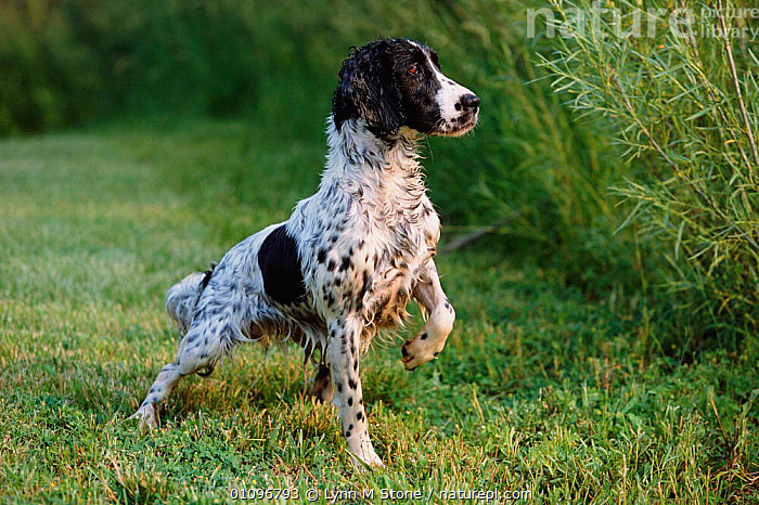 English springer spaniel, wet and alert {Canis familiaris} USA, BREED,HORIZONTAL,LS,MAMMALS,ONE,PEDIGREE,PETS,PORTRAITS,PROTRAIT,SPANIELS,DOGS,CANIDS, Lynn M Stone