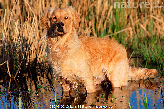Golden retriever in water {Canis familiaris} USA, BREED,CARNIVORES,GUN,HORIZONTAL,LS,LYNN,MAMMALS,PEDIGREE,PETS,RETRIEVERS,USA,WETLANDS,NORTH AMERICA,DOGS,CANIDS, Lynn M Stone