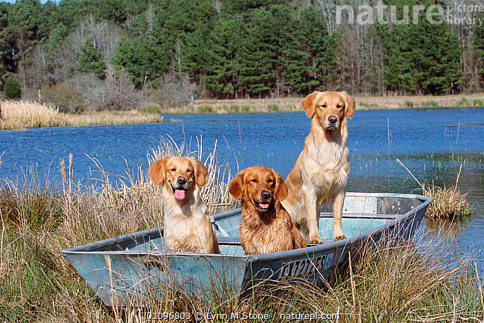 Golden retrievers in boat {Canis familiaris} USA, BREED,GUN,HORIZONTAL,LANDSCAPES,LS,MAMMALS,PEDIGREE,PETS,RETRIEVER,THREE,USA,WATER,WETLANDS,NORTH AMERICA,DOGS,CANIDS, Lynn M Stone