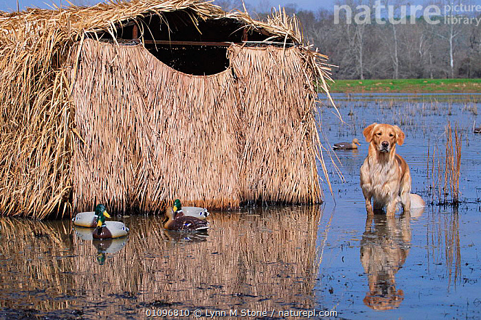 Golden retriever next to hide and duck decoys in water {Canis familiaris} USA, BREED,CARNIVORES,GUN,HORIZONTAL,HUNTING SPORT,LS,MAMMALS,PEDIGREE,PETS,RETRIEVER,SHOOTING,STONE,USA,WATER,WATERFOWL,WETLANDS,WORKING,NORTH AMERICA,DOGS,CANIDS, Lynn M Stone