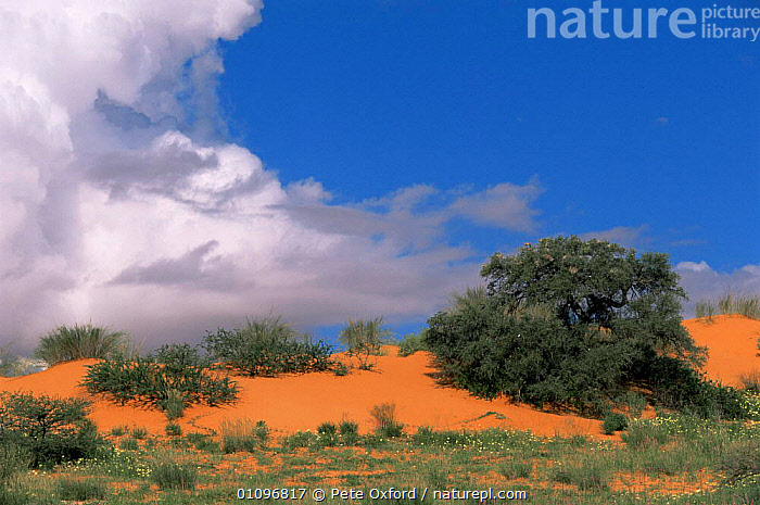 Red sand dunes, Kalahari Kgalagadi Transfrontier NP, South Africa, AFRICA,DESERTS,LANDSCAPES,RESERVE,SAND DUNES,SOUTHERN AFRICA, Pete Oxford
