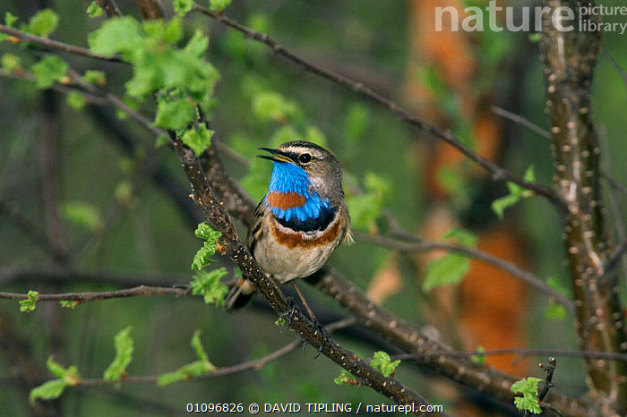 Bluethroat singing in tree {Luscinia svecica} Kuusamo, Finland  - red spotted race -  June, BIRDS, BLUE, BRANCHES, EUROPE, FLYCATCHERS, HORIZONTAL, PASSERINES, PORTRAITS, RED, SPOTTED, SUMMER, TREES, VERTEBRATES, VOCALISATION,PLANTS, DAVID TIPLING