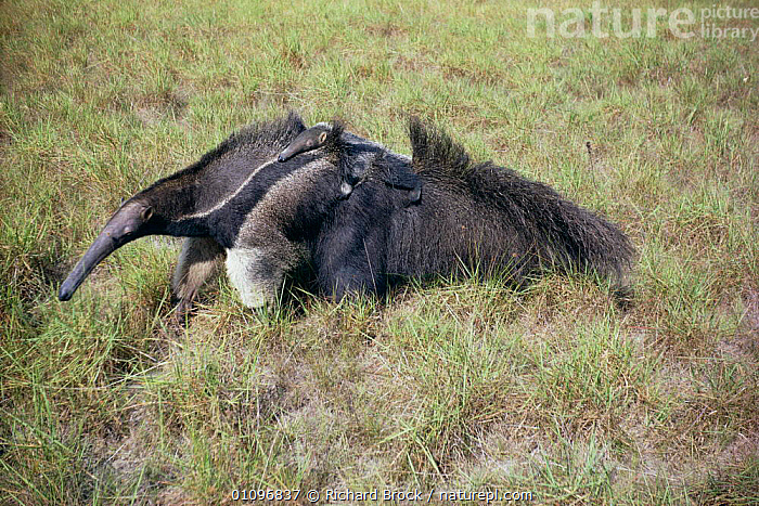 Giant anteater carrying young on back {Myrmecophaga tridactyla} Guyana, BABIES,BABY,CARRYING,CUTE,EDENTATES,FAMILIES,GRASSLAND,HORIZONTAL,MAMMALS,PAMPAS,RBR,SOUTH AMERICA,YOUNG, Richard Brock