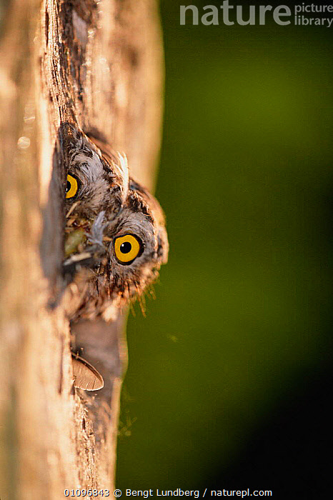Pygmy owl peers out of nest hole in tree {Glaucidium passerinum} Sweden, BIRD,,BIRDS,BLU,EUROPE,EYES,HOLE,HUMOROUS,HUMOUROUS,JUVENILE,NESTS,OWLS,SCANDINAVIA,SURPRISE,SURPRISED,SWEDEN,TRUNKS,TWO,VERTICAL ,BIRDS OF PREY,CONCEPTS,RAPTOR, Bengt Lundberg