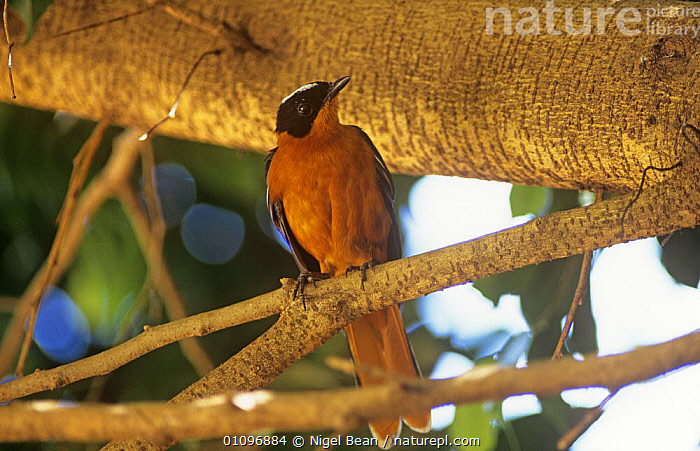 White headed robin chat in tree {Cossypha heinrichi} Yaounde, Cameroon, West Africa, June 1997, AFRICA,BIRDS,FLYCATCHERS,HORIZONTAL,PASSERINES,PORTRAITS,TREES,VERTEBRATES,WEST AFRICA,Plants, Nigel Bean
