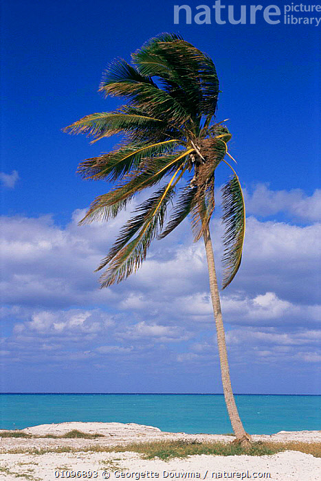 Palm tree blowing in the wind on coast, Bimini, Bahamas, Caribbean, BEACHES,BLOWING,CARIBBEAN,CENTRAL AMERICA,COASTS,HOLIDAYS,MARINE,SEA,TREES,TROPICAL,VERTICAL,WEST INDIES,WIND,Concepts,Weather,Plants, Georgette Douwma