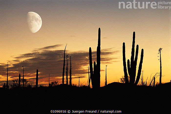 Cardon cactus silhouetted at sunset with moon, Baja California, Mexico, CACTI,DESERTS,DUSK,LANDSCAPES,PLANTS,SILHOUETTES,USA,CENTRAL-AMERICA, Jurgen Freund
