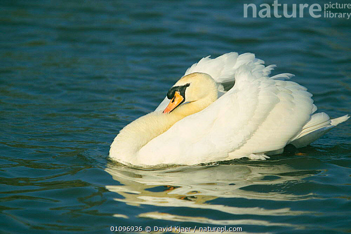Male Mute swan swimming with feather's puffed up {Cygnus olor} Gloucestershire, UK, BIRDS,BRITISH,DK,ENGLAND,EUROPE,FEATHER,HORIZONTAL,MALES,PORTRAITS,SWIMMING,UK,UNITED KINGDOM,WATER,WATERFOWL,WETLANDS,WILDFOWL,WILDLIFE, Waterfowl, David Kjaer