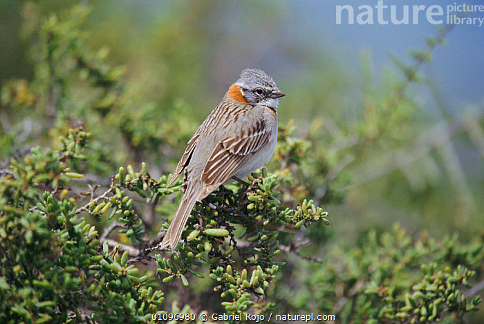 Rufous collared sparrow {Zonotrichia capensis} Valdez, Patagonia, Argentina Chubut, PASSERINES,BIRDS,SOUTH AMERICA,SPARROWS, Gabriel Rojo