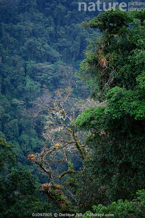 View of Monteverde yropical cloud forest Reserve, Costa Rica, CENTRAL AMERICA,CLOUD FOREST,GREEN,HABITAT,PLANTS,RESERVE,TREES,TROPICAL,VERTICAL, Dietmar Nill