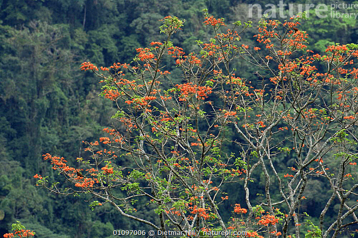 Flowering tree in Monteverde Tropical cloud forest Reserve, Costa Rica, CANOPY,CENTRAL AMERICA,CLOUD FOREST,FLOWERS,HABITAT,PLANTS,RESERVE,TREES,TROPICAL, Dietmar Nill