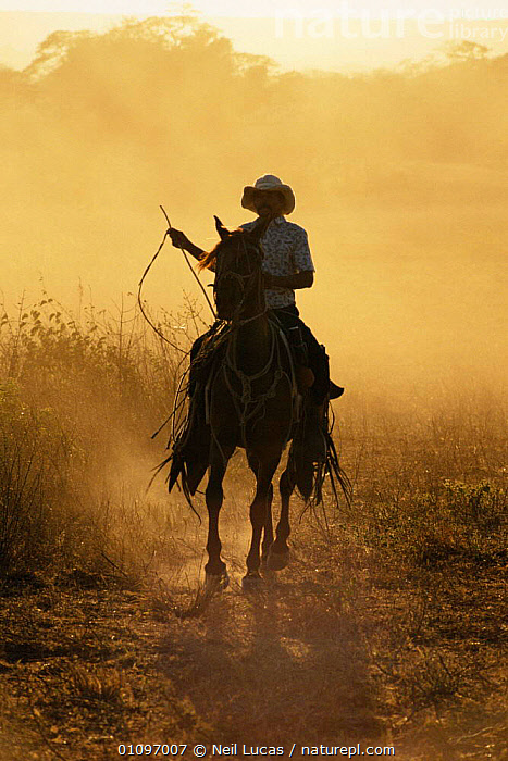 Sabanero, Costa Rican cow boy on horseback, Guanacaste, Costa Rica, Central America, ATMOSPHERIC,CENTRAL AMERICA,COWBOY,CULTURES,DUSK,DUST,FARMING,HORSES,MALES,MAMMALS,PEOPLE,SUNSET,TRADITIONAL,TROPICAL,VERTICAL, Neil Lucas