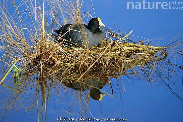 White winged coot on nest {Fulica leucoptera} La Pampa, Argentina Macachin, Pampas, NESTS,COOTS,FEMALES,REFLECTIONS,BIRDS,SOUTH AMERICA,WATERFOWL, Gabriel Rojo