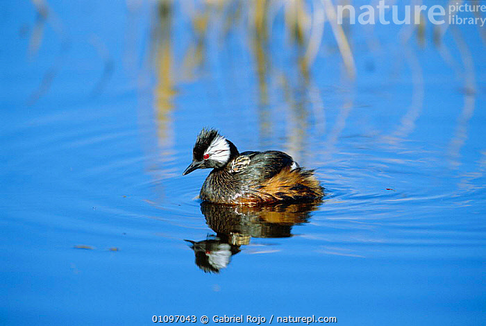 White tufted grebe carrying chick on back {Rollandia / Podiceps rolland} La Pampa, Argentina, ARGENTINA,BABIES,BEHAVIOUR,BIRDS,CUTE,FAMILIES,GREBES,HORIZONTAL,PARENTAL,SOUTH AMERICA,VERTICAL,WETLANDS,WATERFOWL, Gabriel Rojo
