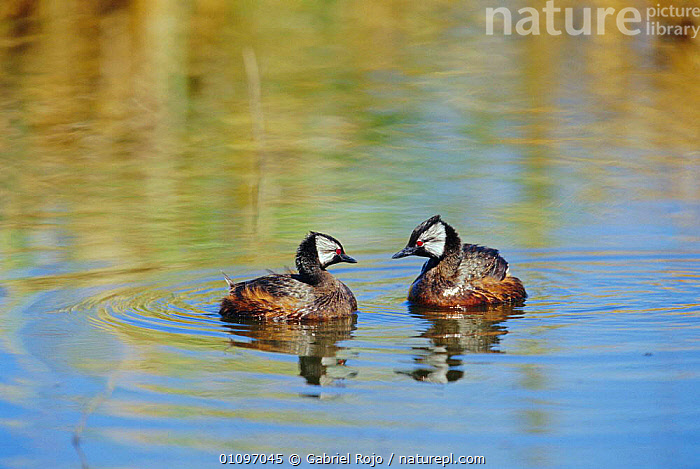 White tufted grebes courtship display {Rollandia rolland} La Pampa, Argentina Macachin, BIRDS,MATING BEHAVIOUR,SOUTH AMERICA,WATERFOWL,PODICEPS,WETLANDS,MALE FEMALE PAIR,REPRODUCTION, Gabriel Rojo