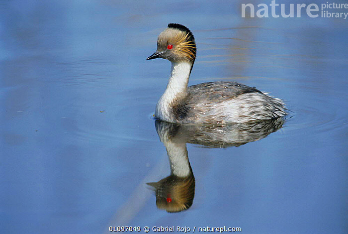 Silvery grebe {Podiceps occipitalis} La Pampa, Argentina, WETLANDS,BIRDS,WATERFOWL,SOUTH AMERICA,GREBES, Gabriel Rojo