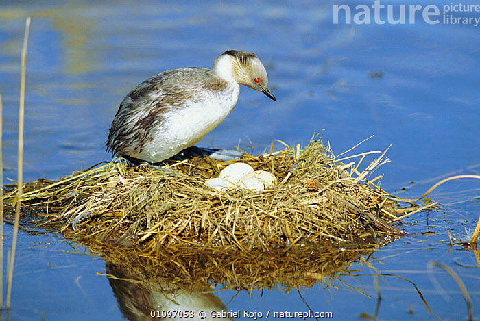 Silvery grebe on nest with eggs {Podiceps occipitalis} La Pampa, Argentina, GREBES,WETLANDS,WATERFOWL,NESTS,INCUBATION,BEHAVIOUR,SOUTH AMERICA,BIRDS, Gabriel Rojo