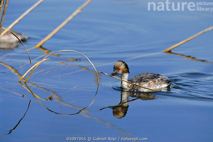 Silvery grebe with material for nest {Podiceps occipitalis} La Pampa, Argentina, SOUTH AMERICA,BIRDS,NESTING BEHAVIOUR,WETLANDS,GREBES,WATERFOWL,NESTS,REPRODUCTION, Gabriel Rojo