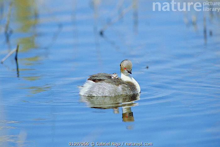 Silvery grebe carrying chick on back {Podiceps occipitalis} La Pampa, Argentina, Macachin, WETLANDS,GREBES,BABIES,BIRDS,BEHAVIOUR,MATERIAL,WATERFOWL,FAMILIES,SOUTH AMERICA, Gabriel Rojo