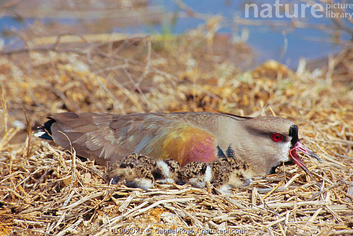 Southern lapwing calling on nest with chicks {Vanellus chilensis} La Pampa, Argentina, MACACHIN,BIRDS,NESTS,WADERS,SOUTH AMERICA,VOCALISATION,DEFENSIVE,BABIES,PLOVERS,BEHAVIOUR, Waders, Gabriel Rojo