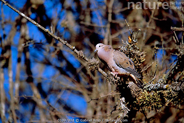 Eared dove cooing {Zenaida auriculata} Lihue calel NP, Argentina, South America La Pampa, ARGENTINA,BIRDS,GRO,HORIZONTAL,NP,PERCHED,SOUTH AMERICA,VERTICAL,VOCALISATION,NATIONAL PARK,DOVES, Gabriel Rojo