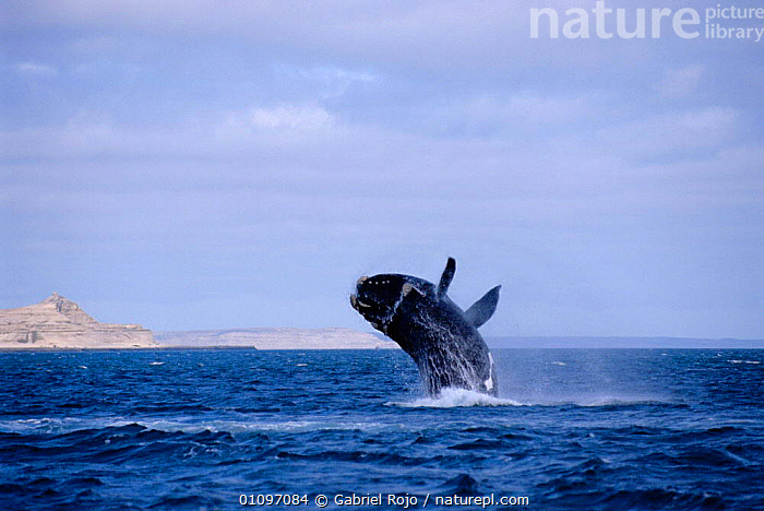 Southern right whale calf breaching {Balaena glacialis australis} Patagonia, Argentina Valdez peninsula. South America, ACTION,BREACHING,CETACEANS,COASTAL WATERS,GRO,HORIZONTAL,JUVENILE,MAMMALS,MARINE,PATAGONIA,SOUTH AMERICA,SURFACE,TEMPERATE,VERTICAL, Gabriel Rojo