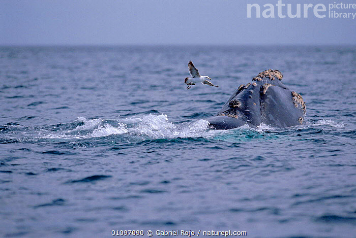Gull approaching Southern right whale {Balaena glacialis australis} to peck at wounds. Peninsula Valdez, Patagonia, Argentina, ARGENTINA,BIRDS,CETACEANS,COASTAL WATERS,FEEDING,FLYING,GRO,HORIZONTAL,MAMMALS,MARINE,PATAGONIA,SEABIRDS,SEAGULL,SOUTH AMERICA,TEMPERATE, Gabriel Rojo