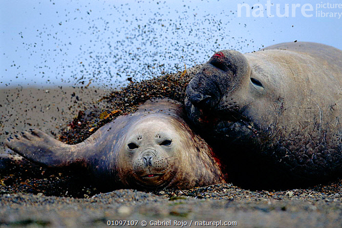 Southern elephant seal male and female courtship {Mirounga leonina} Valdez, Patagonia, Argentina, South America, ARGENTINA,ATLANTIC,BEHAVIOUR,COURTSHIP,DIGGING,GRO,HORIZONTAL,MALE FEMALE PAIR,MAMMALS,MARINE,PINNIPEDS,SOUTH AMERICA, Gabriel Rojo
