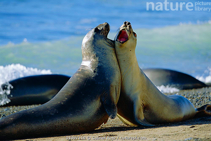 Southern elephant seal male juveniles play fighting {Mirounga leonina} Patagonia, Argentina South America, AGGRESSION,ARGENTINA,COASTS,DOMINANCE,FIGHTING,GRO,HORIZONTAL,JUVENILE,MALES,MAMMALS,MARINE,PATAGONIA,PINNIPEDS,PLAY,SOUTH AMERICA,YOUNG,CONCEPTS,COMMUNICATION,SOUTH-AMERICA, CARNIVORES , CARNIVORES , CARNIVORES , CARNIVORES, Gabriel Rojo